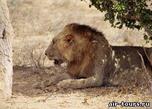 Лев в Кении